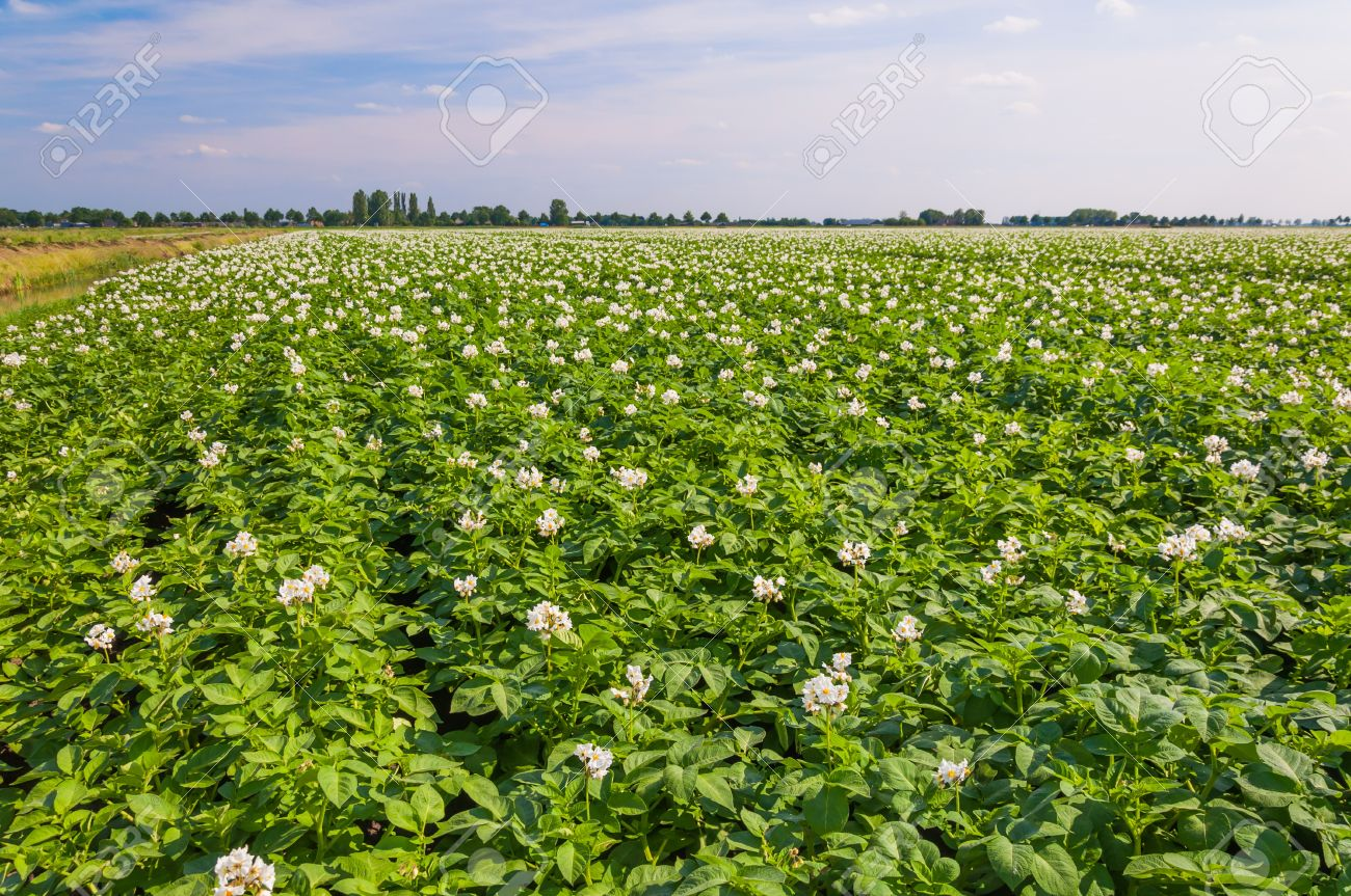 Potato Plants With White And Yellow Flowers In A Large Field Stock