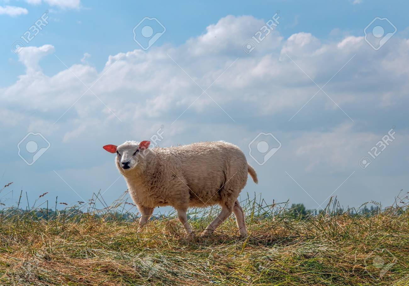 One curious sheep standing on a Dutch dike in summer Stock Photo - 14384946