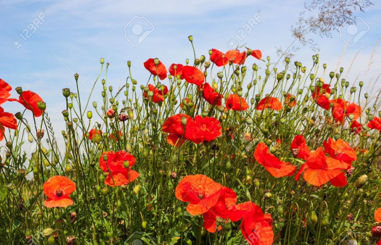 Budding and red  flowering poppies and their seed boxes. Stock Photo - 14491745