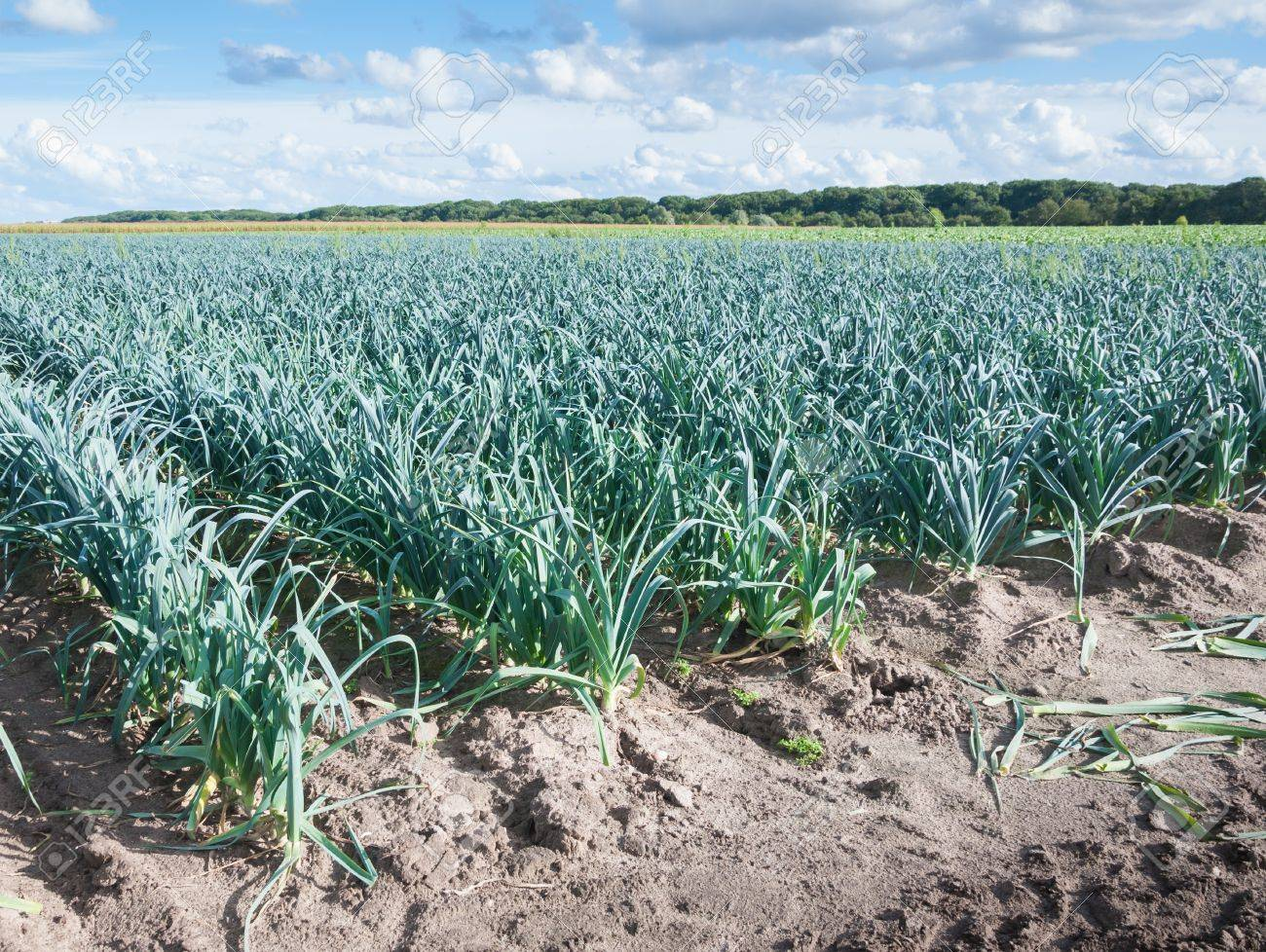 Rows of leeks in a rural  landscape with a cloudy sky in the Netherlands Stock Photo - 15314416