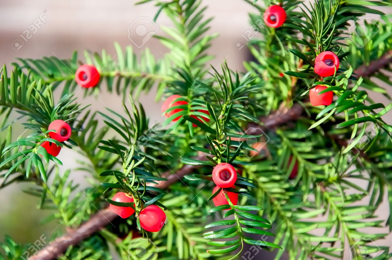 closeup of taxus baccata or european yew with mature cones royalty