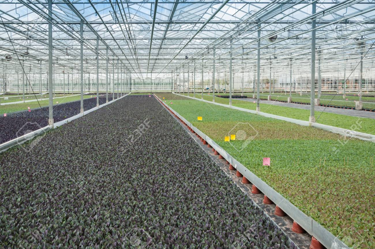 Colorful young cabbage plants in an advanced plant nursery in the Netherlands. Stock Photo - 18198768