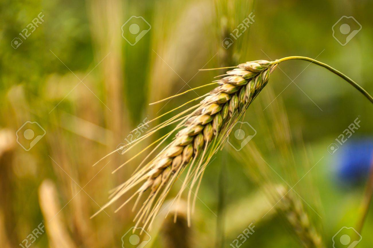 Closeup of a rye spike against the blurred natural background of a field of rye spikes and cornflowers. Stock Photo - 19196974