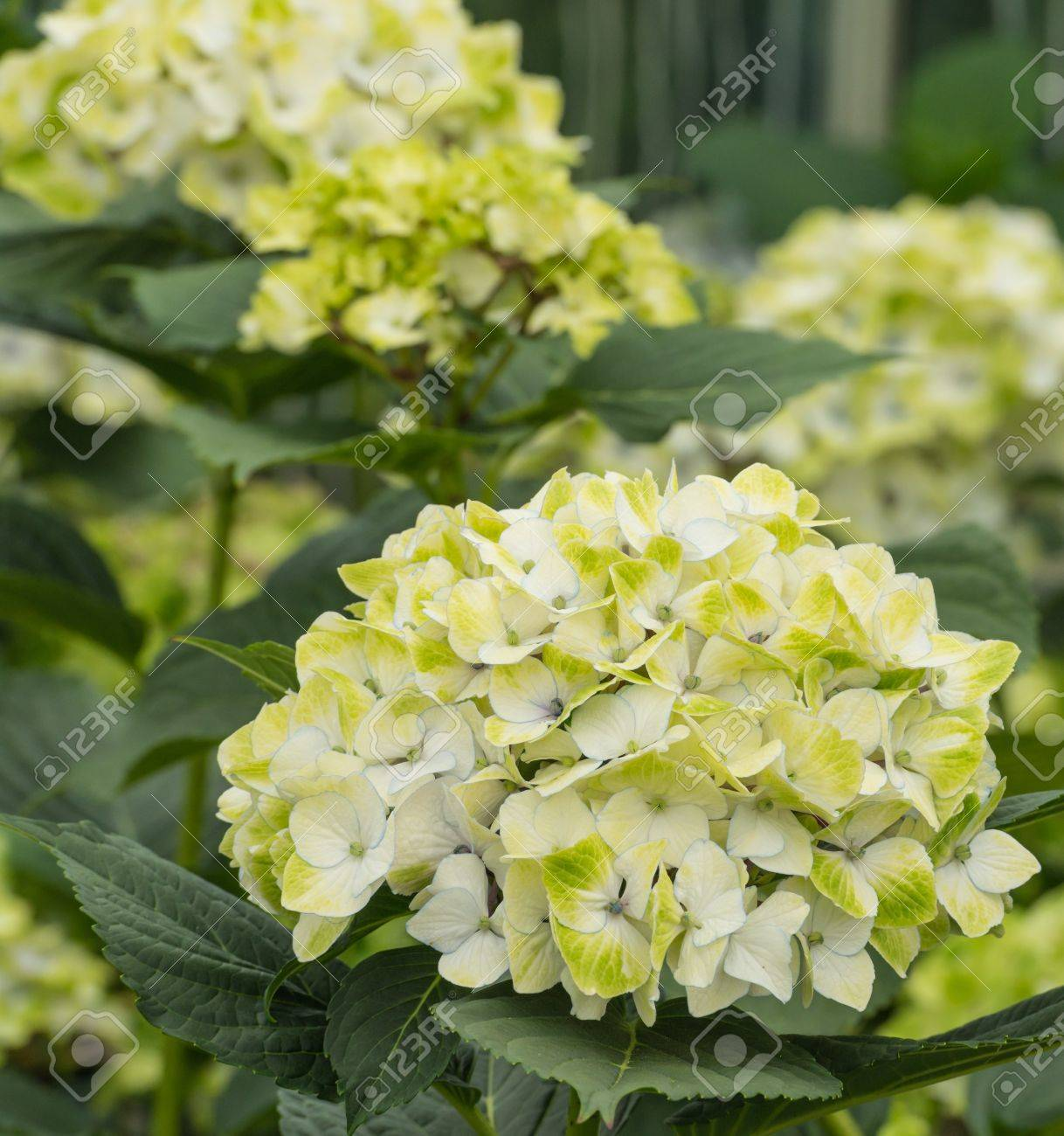 Yellow and white blooming hydrangea plants in a cut flower nursery stock photo yellow and white blooming hydrangea plants in a cut flower nursery specialised in hydrangea flowers for export mightylinksfo