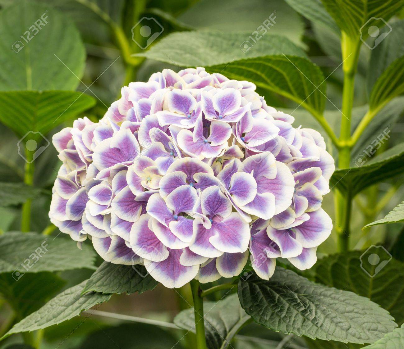 picture of hydrangea flower  flower, Beautiful flower