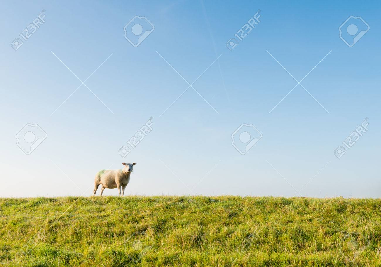 Lonely sheep curiously looking in early morning sunlight. Stock Photo - 22663030