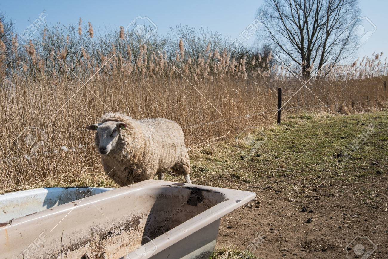 Lonely and dehydrated sheep in winter coat looks in vain at dried bathtubs standing at the edge of the meadow. Stock Photo - 25917773