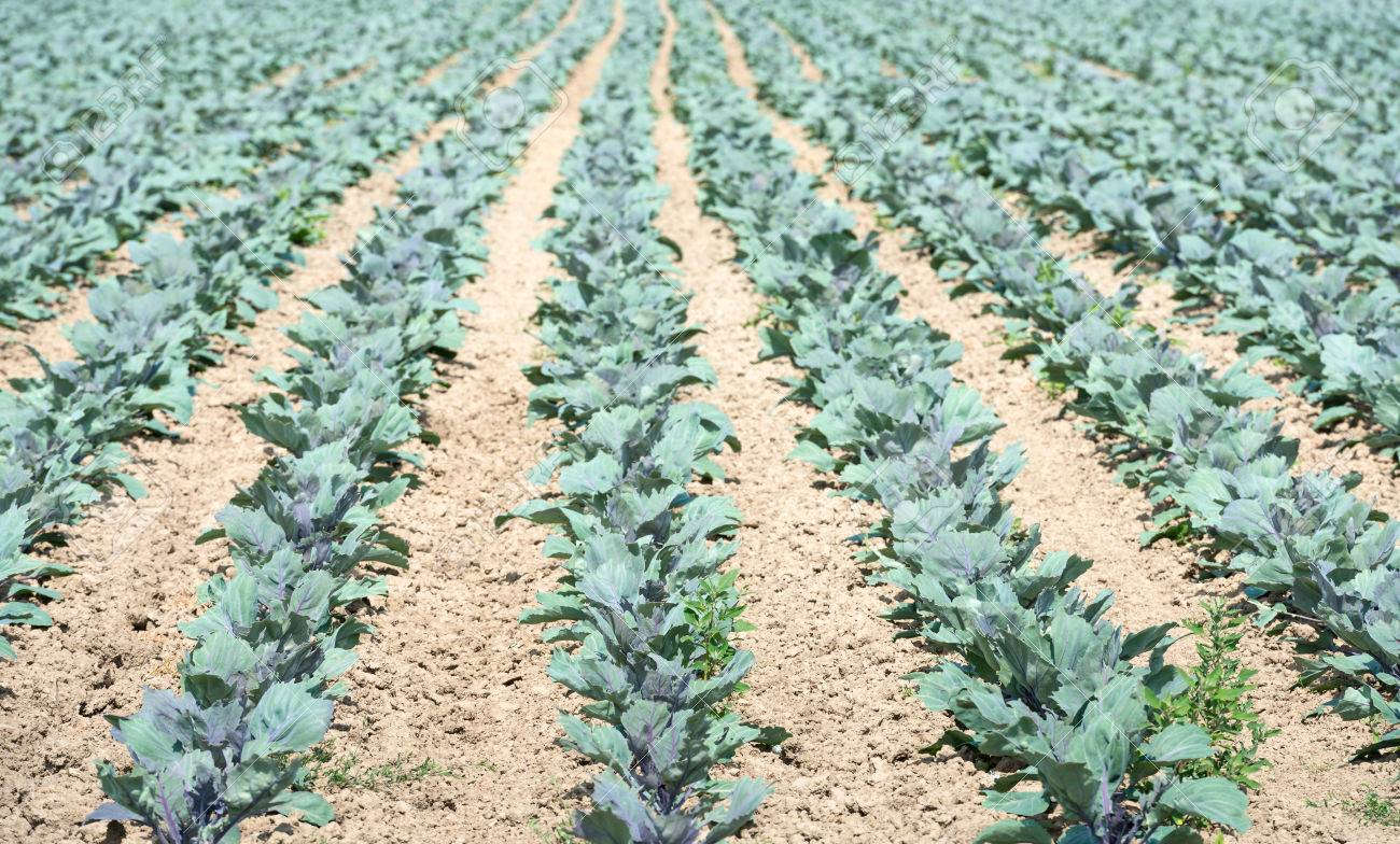 Rows Of Immature Red Cabbage Or Brassica Oleracea Var Capitata F Rubra Plants On Dry And