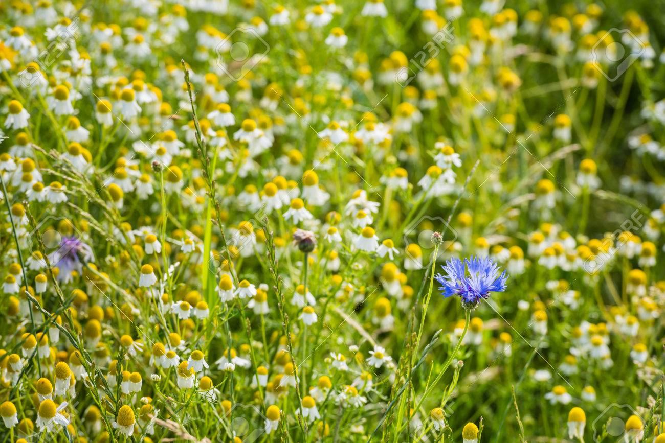 Blue Flowering Cornflower Or Centaurea Cyanus Plants Between Stock