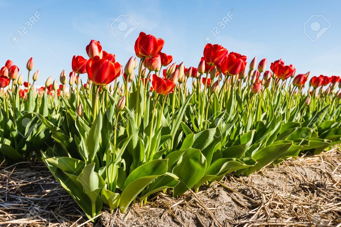 c282e4dd23f2 Filas de plantas en flor de tulipán rojo en el suelo de un vivero holandés  en