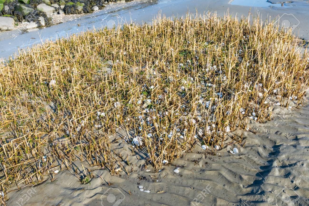 roseau cassé jauni découle sur la rive d'un estuaire néerlandais à