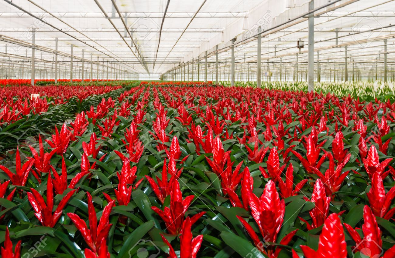 Red blooming bromeliad plants in a Dutch greenhouse horticulture.. on blooming trees, blooming leaves, blooming plants, blooming apples, blooming bromeliads, blooming large peony, blooming hibiscus, blooming iq, blooming weeds, blooming iris, blooming perennials, blooming annuals, blooming bonsai, blooming shrubs,