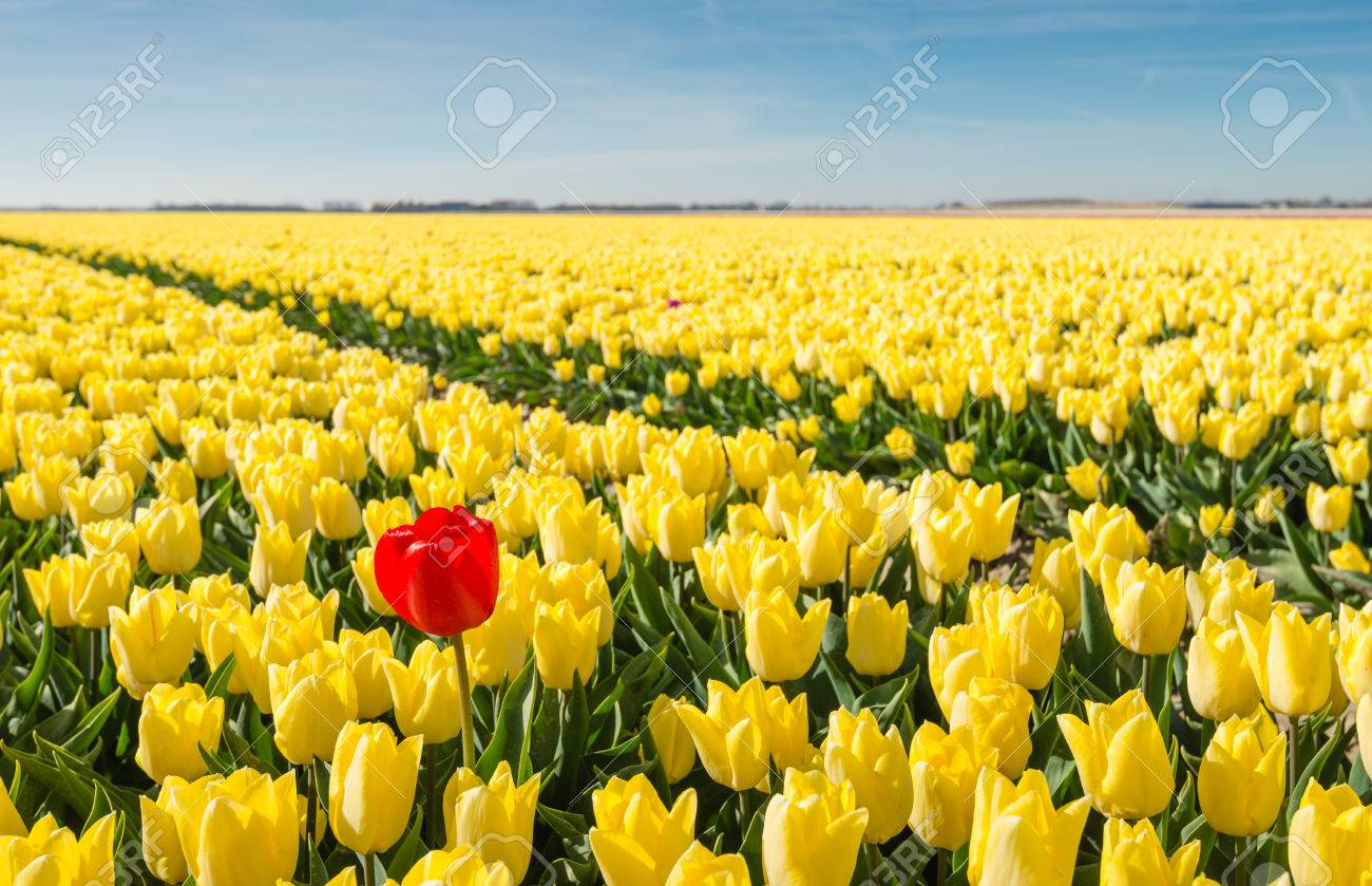 Striking red flowering tulip differs greatly from the many yellow blooming tulips in the large field of a Dutch bulb grower. - 39342875