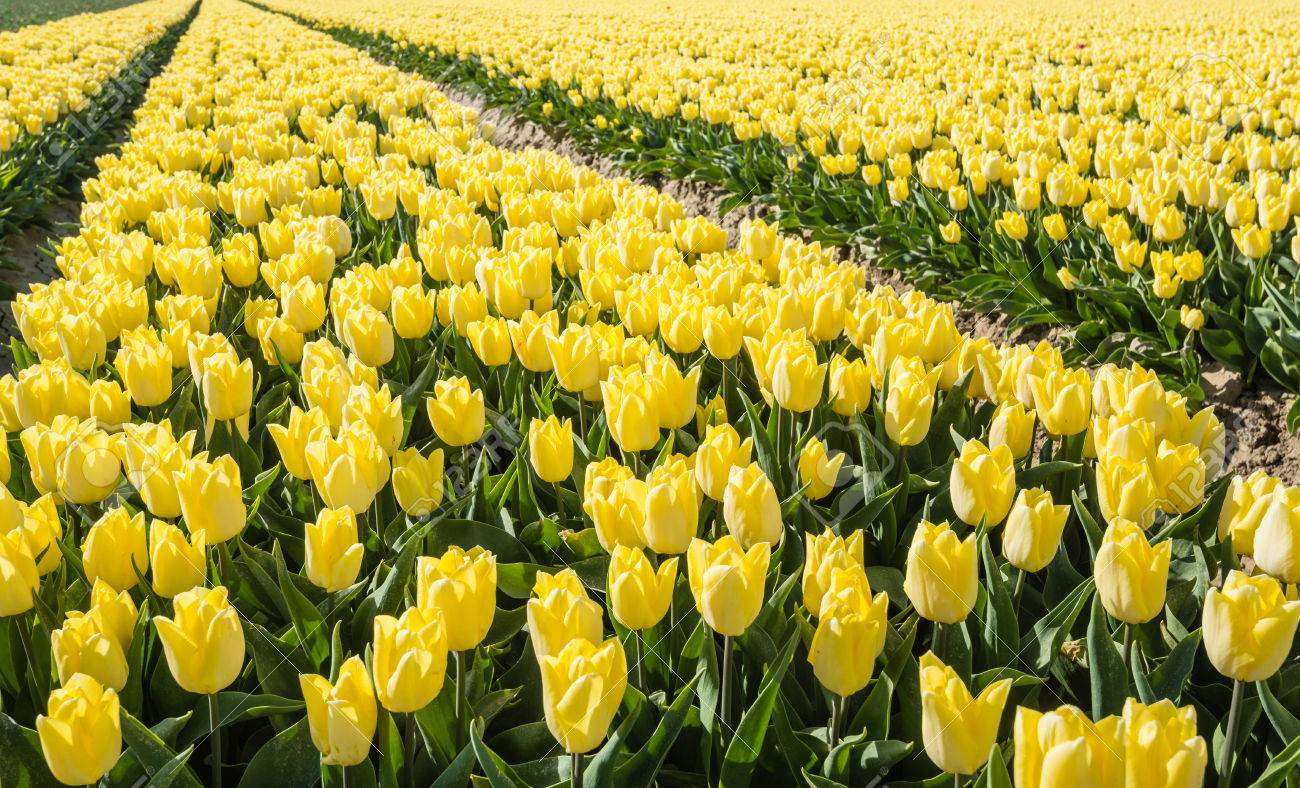 Long Rows Of Plant Beds With Yellow Flowering Tulip Bulbs In Stock