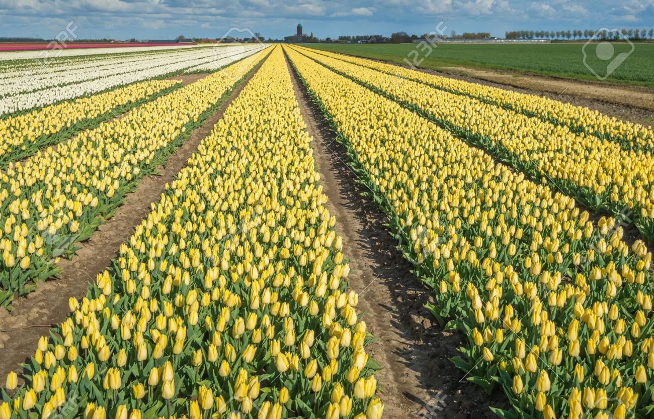 Large beds with mostly yellow flowering tulips in the field of large beds with mostly yellow flowering tulips in the field of a specialized dutch grower at mightylinksfo