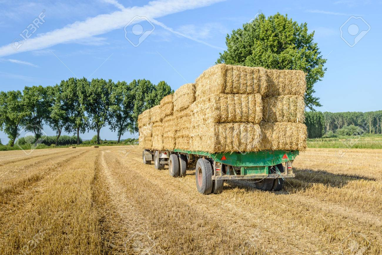 Agricultural Trailers Fully Loaded With Straw Bales In A Wheat