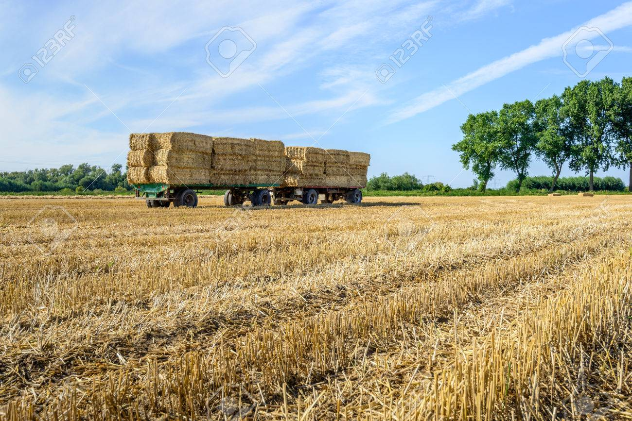 Agricultural Trailers Fully Loaded With Piled Straw Bales In