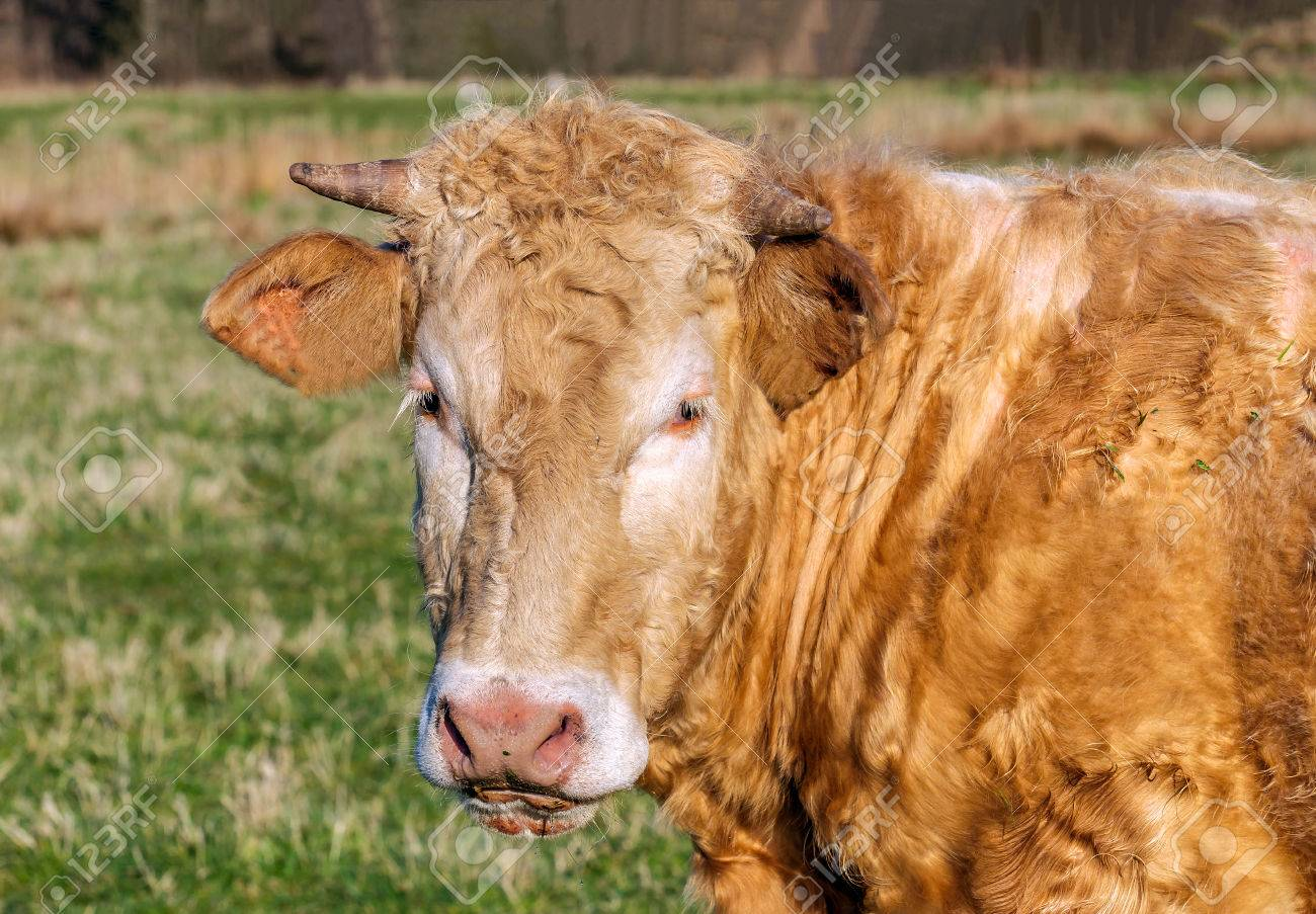 Portrait Of A Staring Cow With Curly Brown Hair Blonde Eyelashes