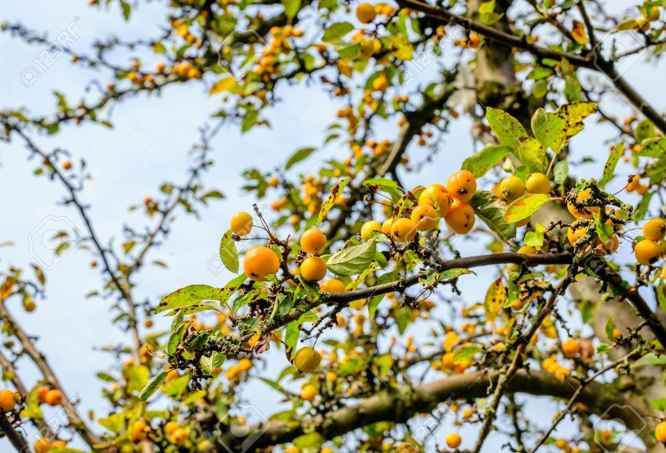 Partially Weathered Leaves And Crab Apples On The Branches Of