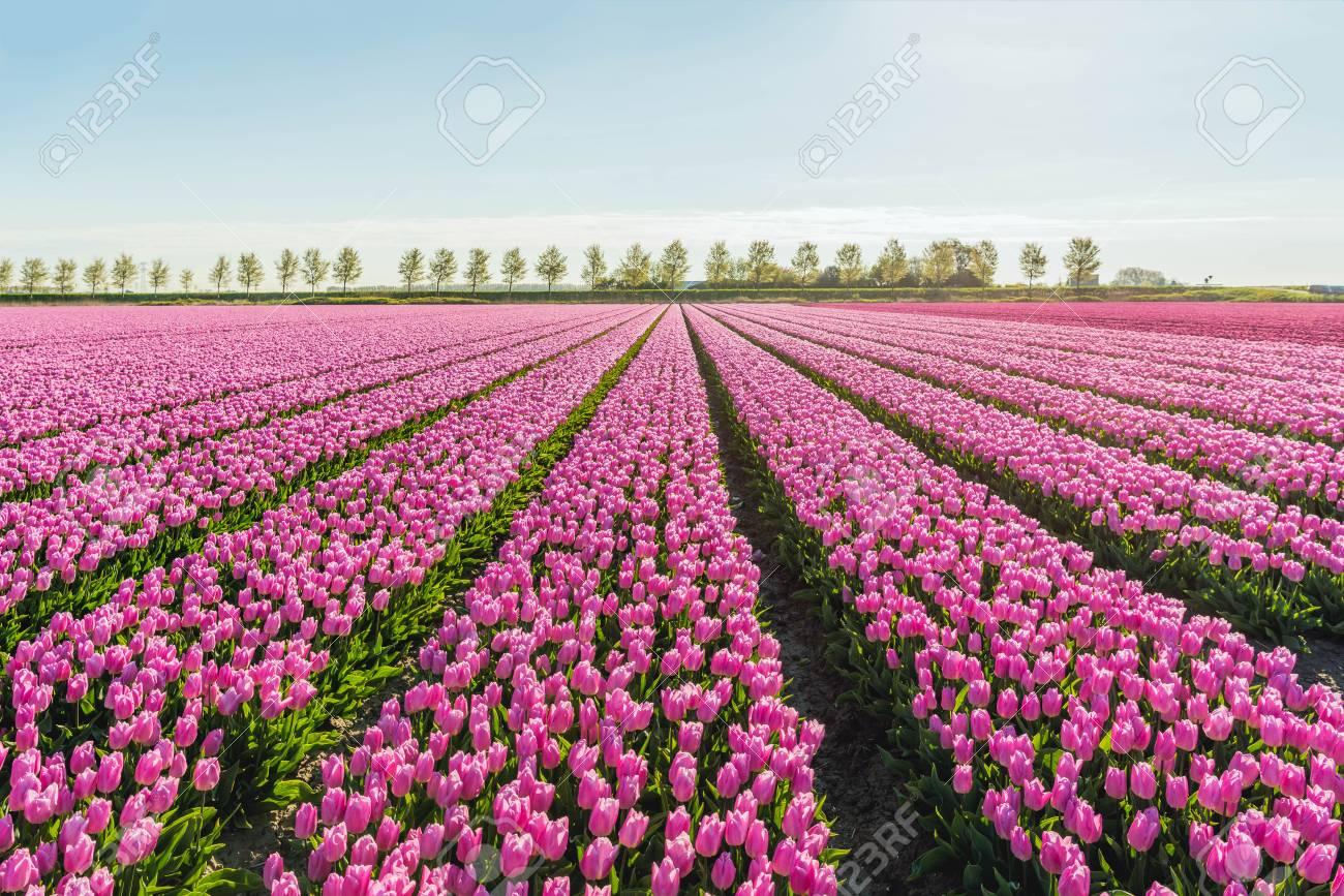 Light pink colored tulip flowers in long converging flower beds light pink colored tulip flowers in long converging flower beds at a specialized dutch bulb nursery mightylinksfo