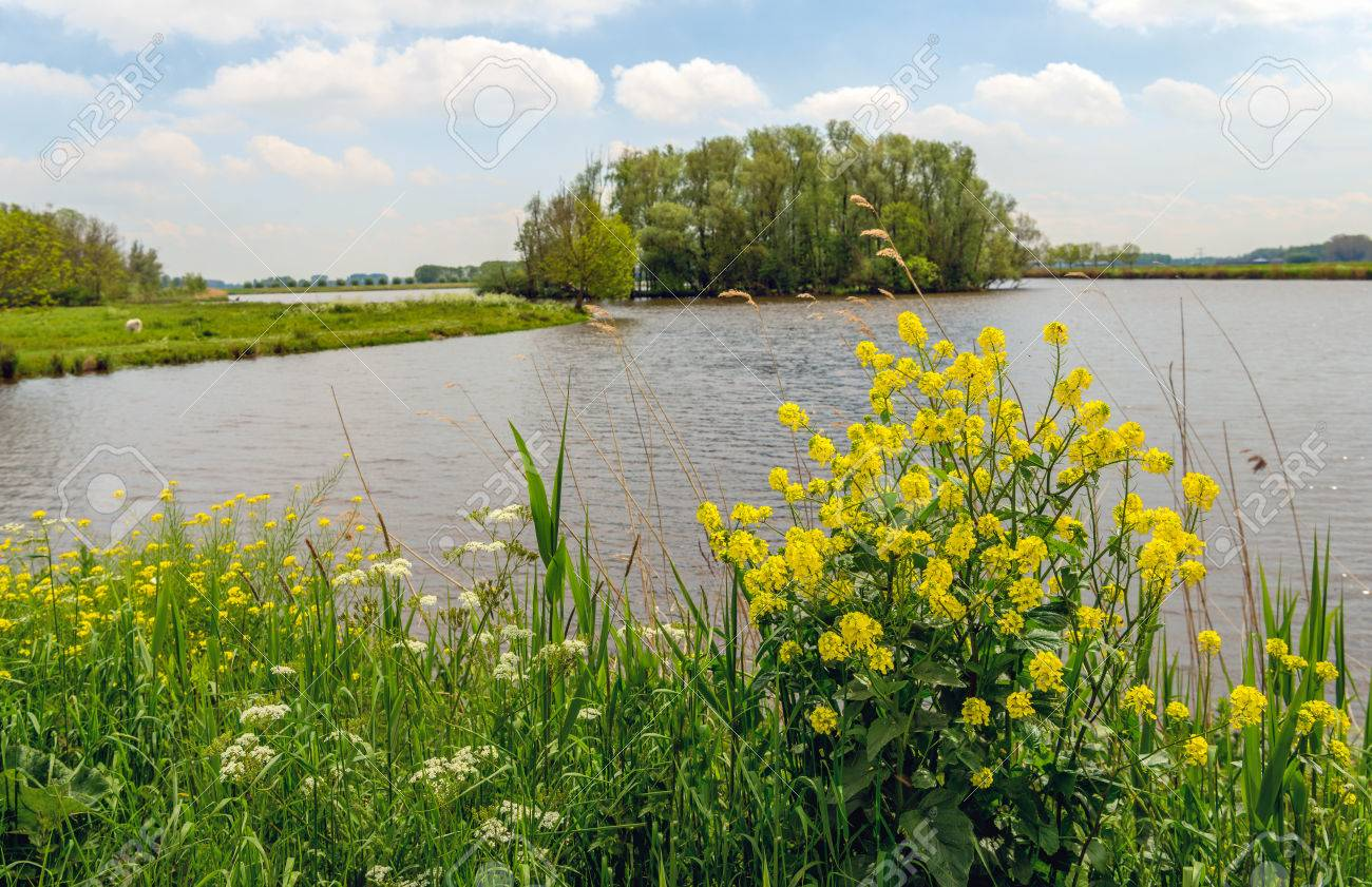 Yellow Flowering Rapeseed And Other Wild Plants On The Bank Of