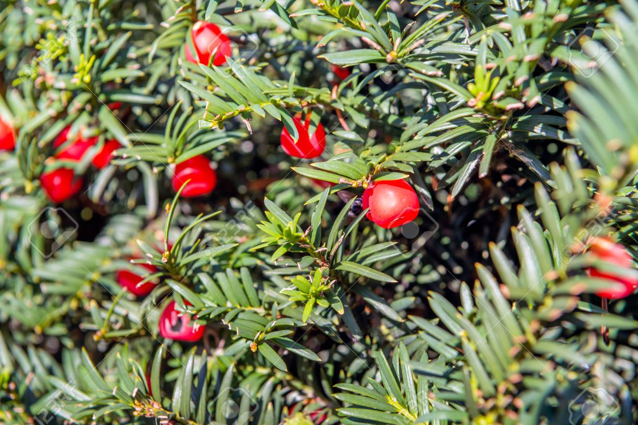 closeup of red berry like seed cones of a european yew or taxus