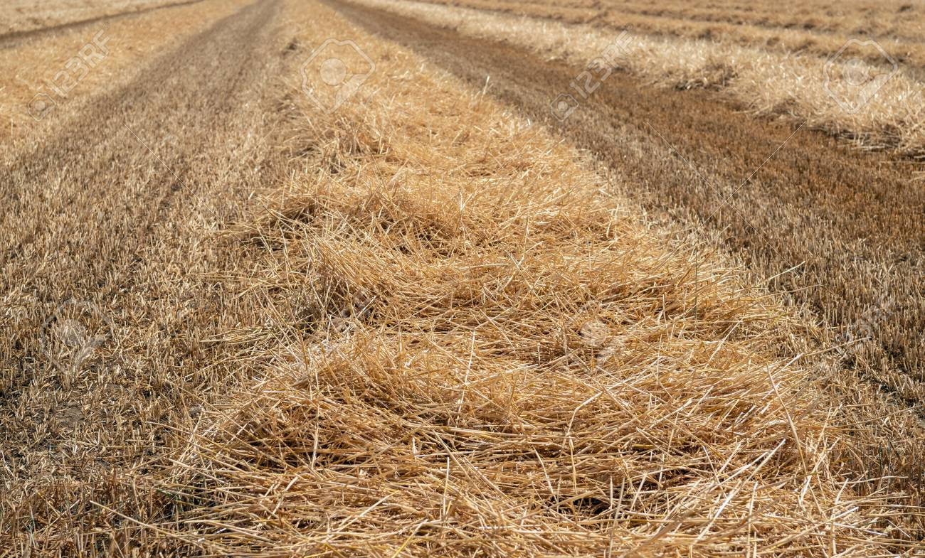 Straw Collected In Long Ridges On A Large Stubble Field After