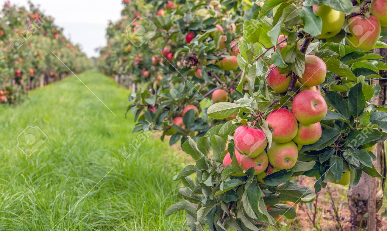 Espaliered Fruit Trees With Harvest Ripe Red Apples In A Dutch Stock Photo Picture And Royalty Free Image Image 108568465
