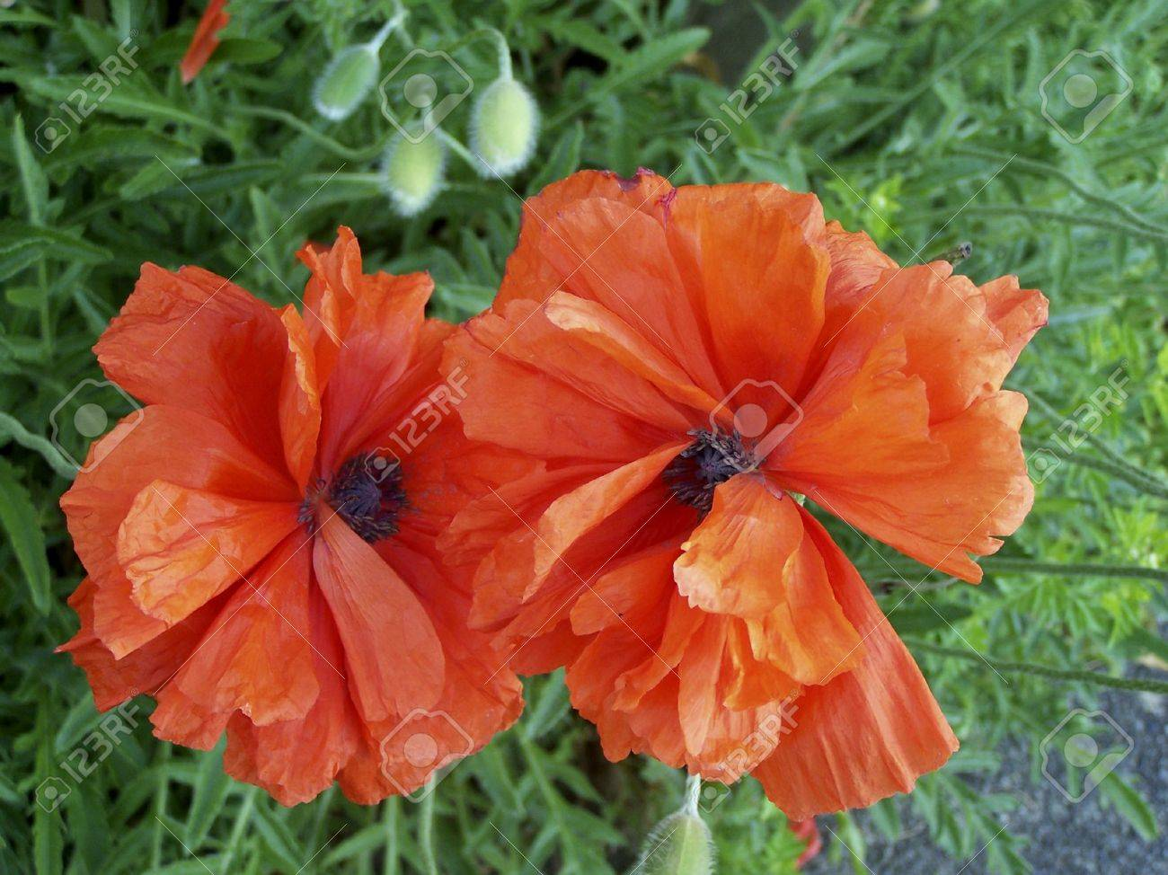 Orange Poppy Flowers On Vancouver Island Bc Canada By Skye Stock