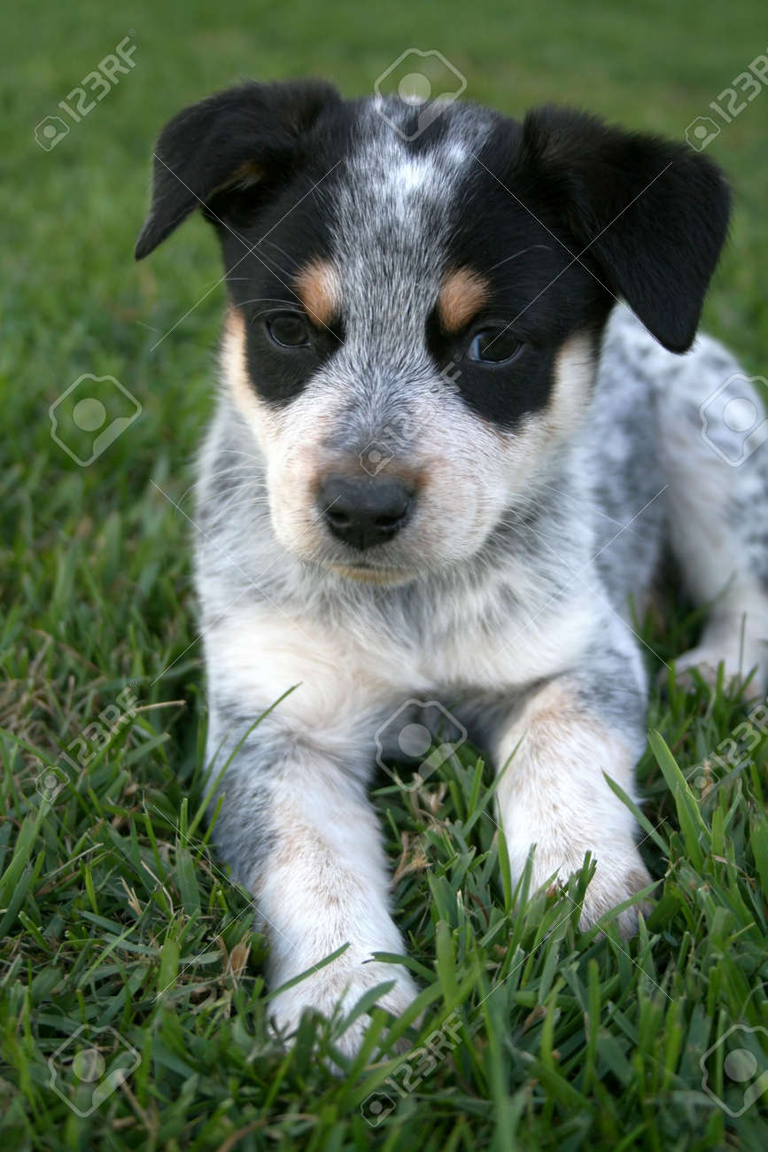 6 Week Old Blue Heeler Puppy Dog Stock Photo Picture And Royalty Free Image Image 1335521