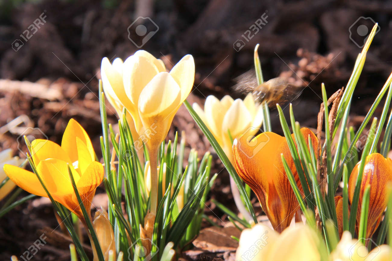 Yellow crocus flower stock photo picture and royalty free image stock photo yellow crocus flower mightylinksfo