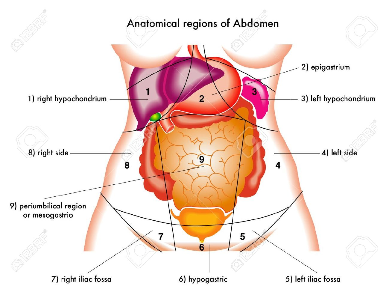 Llustration Of Anatomical Regions Of Abdomen Royalty Free Cliparts ...