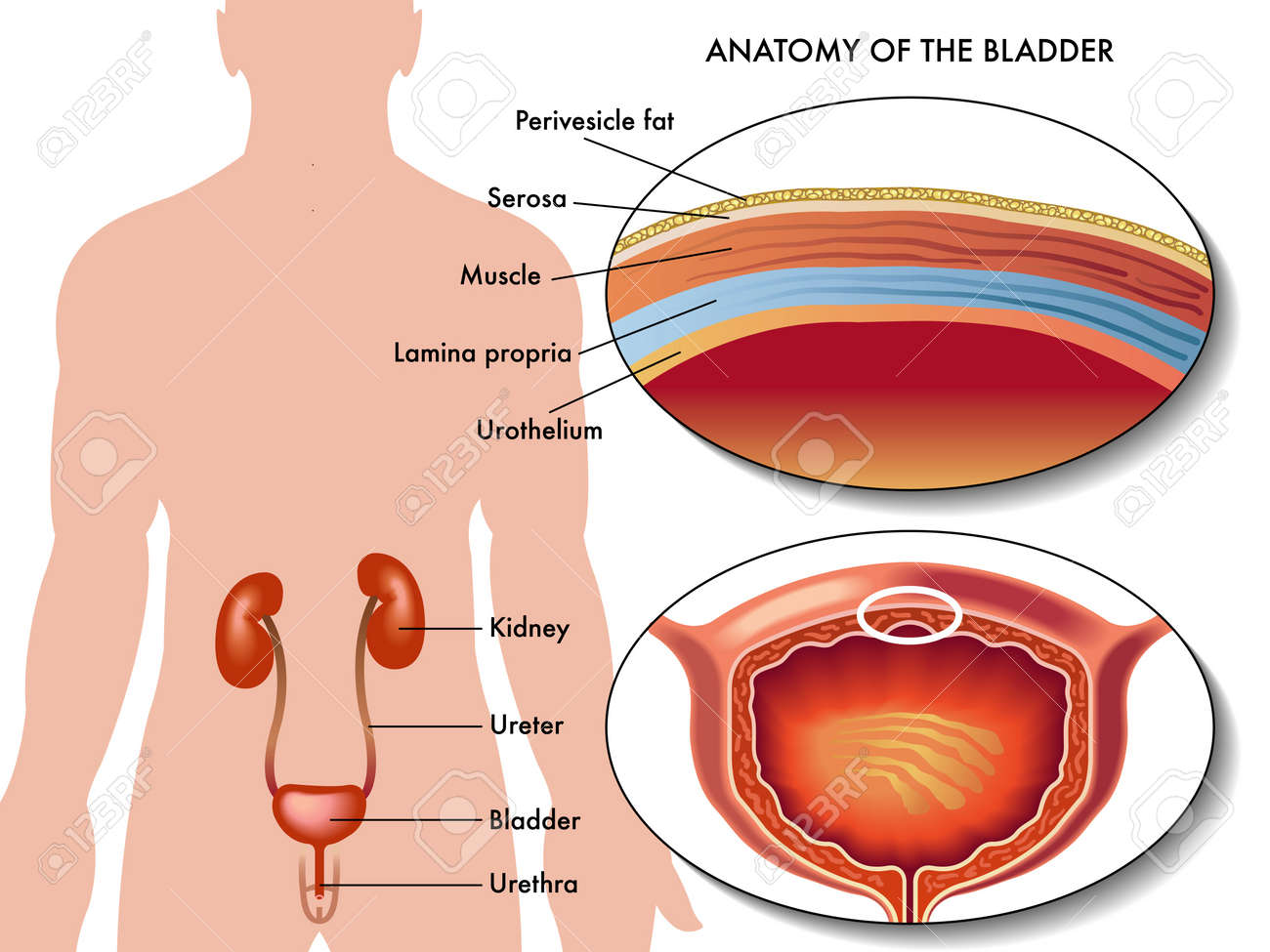 Male Bladder Royalty Free Cliparts Vectors And Stock Illustration