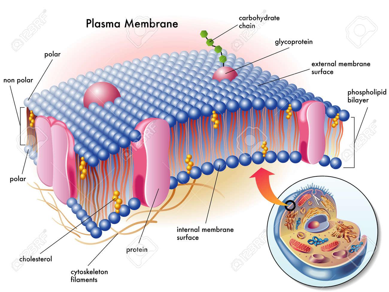 plasma membrane - 16755654