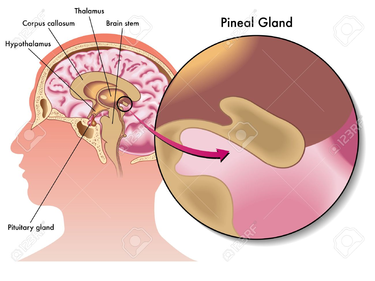 pineal gland - 32507219