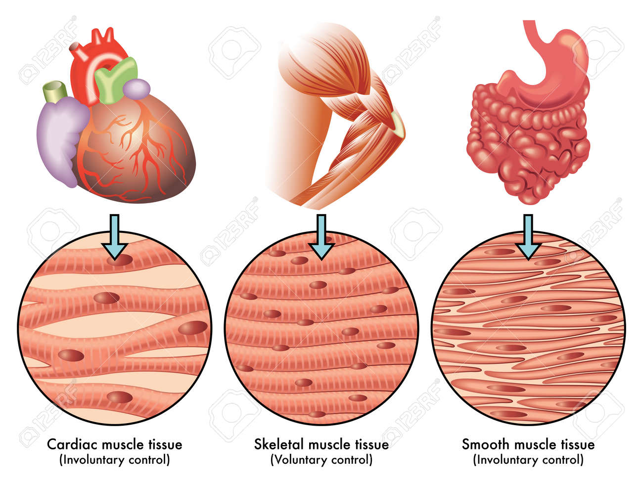 muscle tissue - 35796625