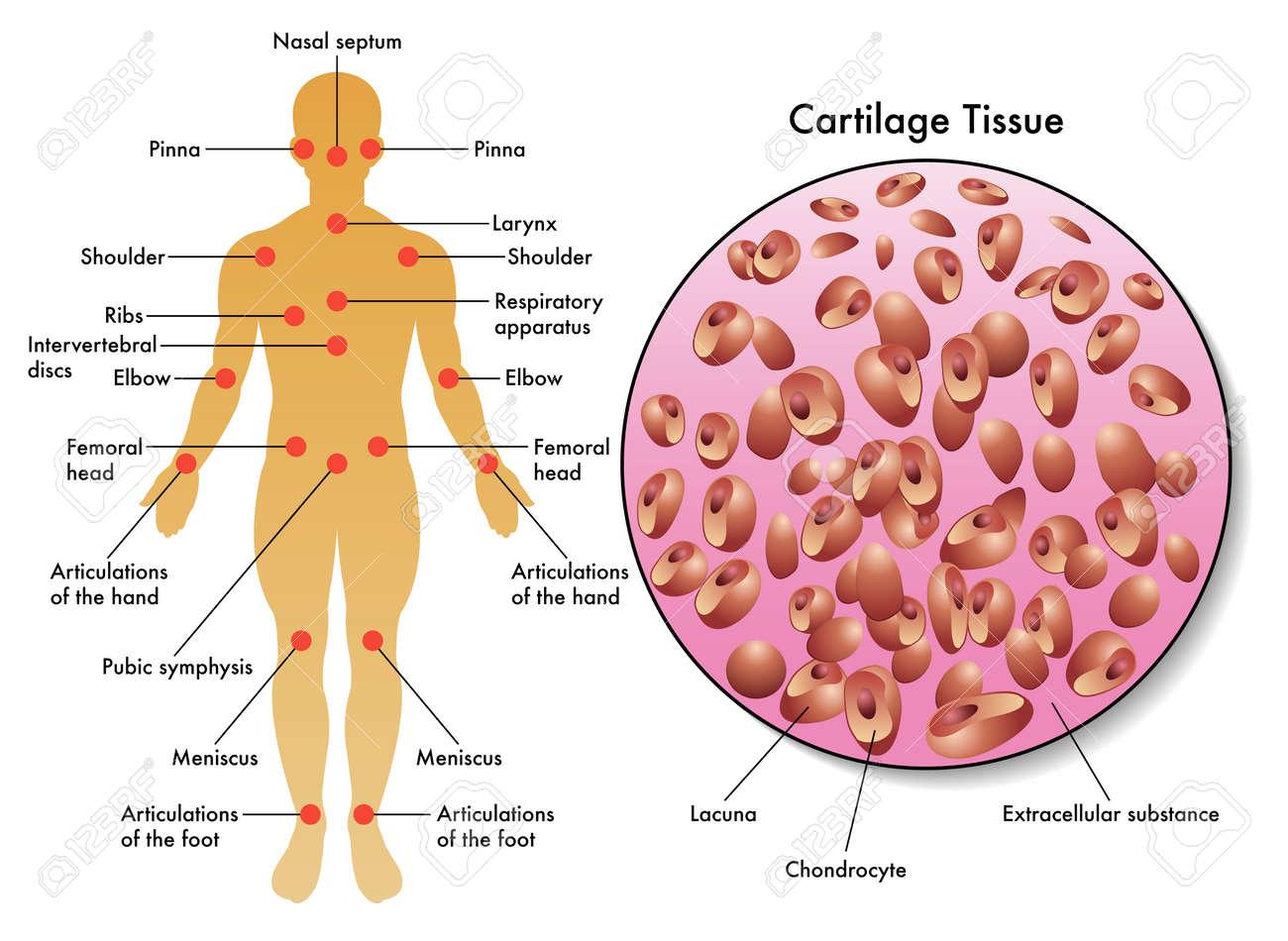 cartilage tissue - 38250872