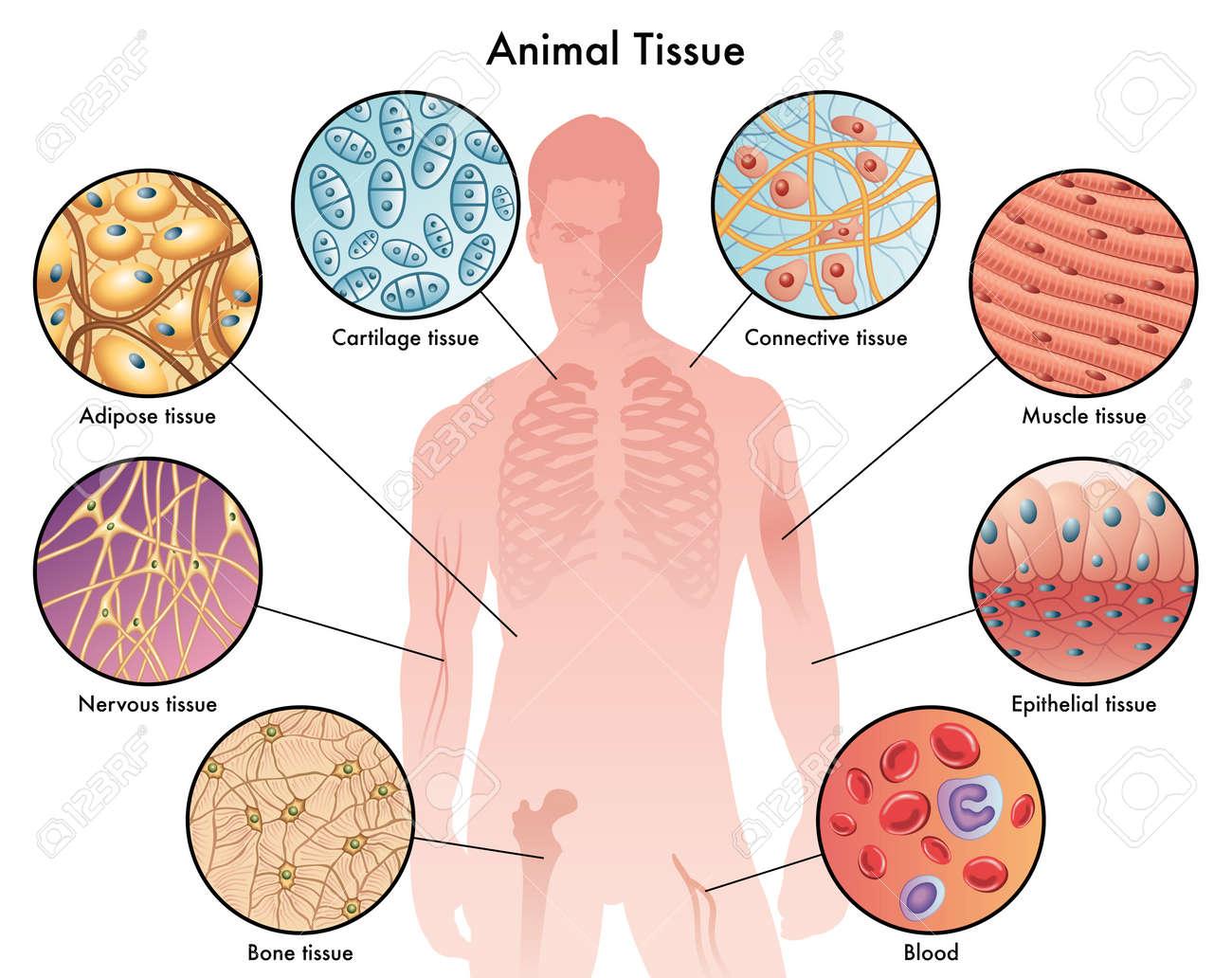 animal tissues - 39366606