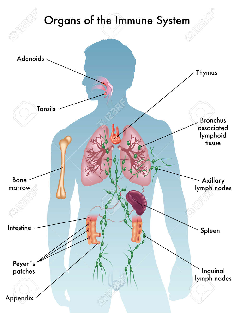organs of the immune system - 66461199