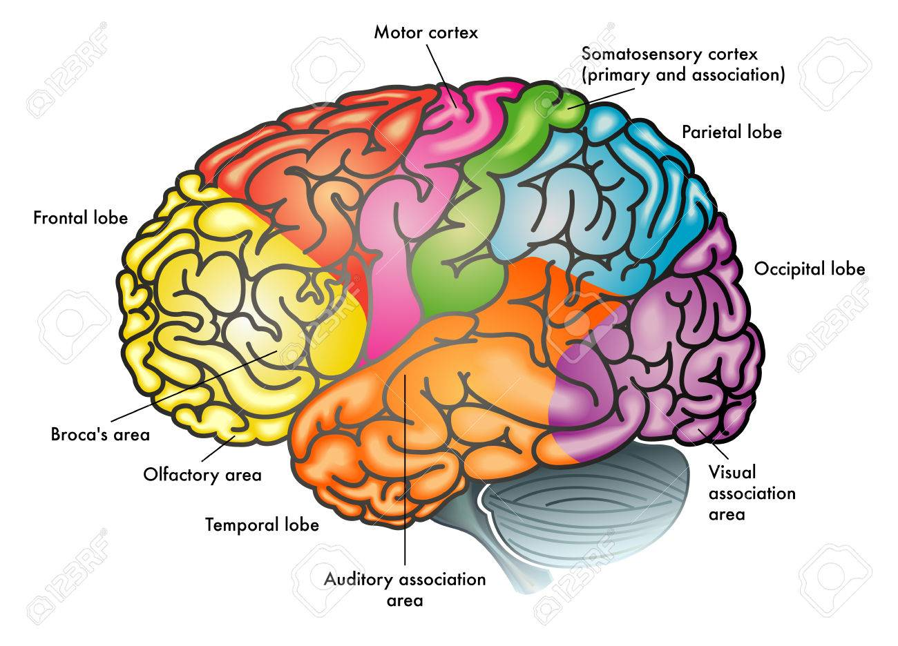 Areas Of The Brain And Functions Illustration. Royalty Free Cliparts ...