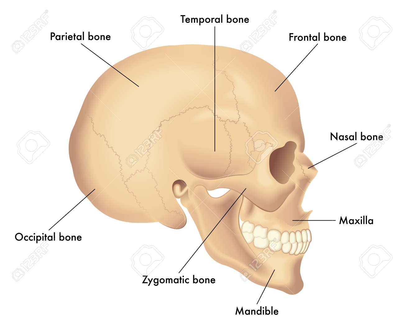Basic Skull Anatomy Royalty Free Cliparts, Vectors, And Stock ...