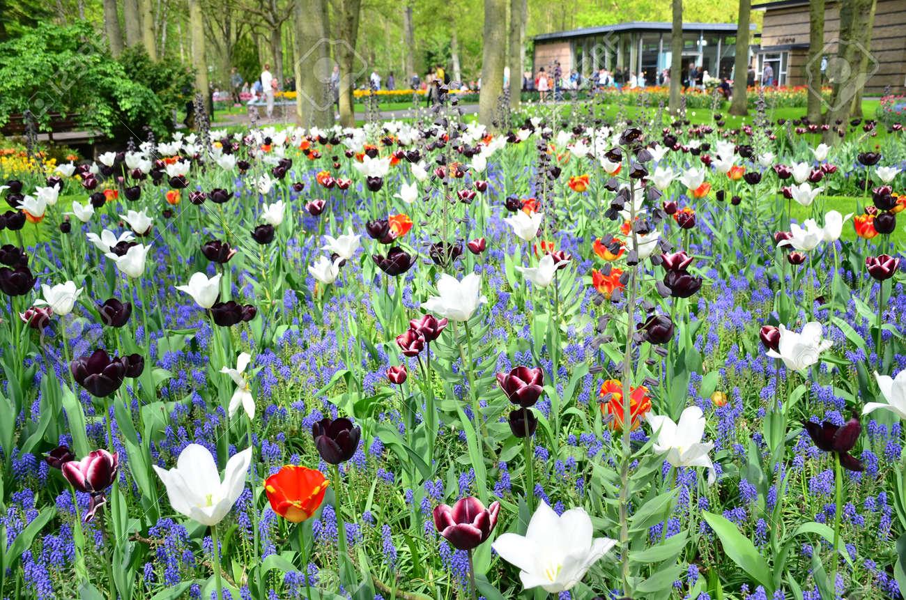 Keukenhof jardin, Pays-Bas -Mai 10: fleurs P.Colorful et fleurs en  néerlandais jardin de printemps Keukenhof, qui est le plus grand jardin de  fleurs ...