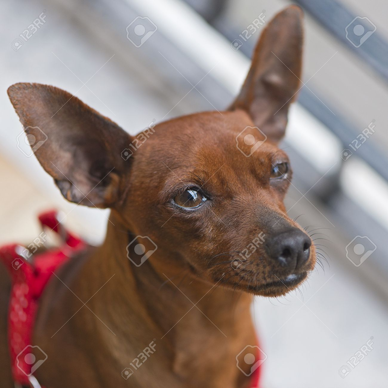 pincher dog breed stock photo picture and royalty free image image