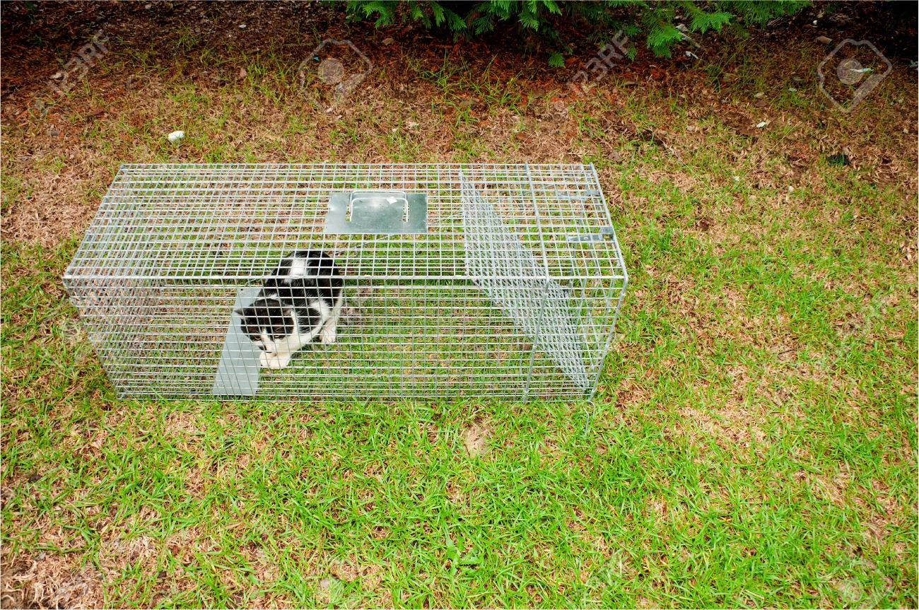 Cat Trapped In A Humane Non Lethal Animal Trap Stock