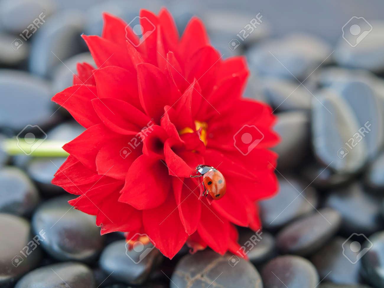 dahlia fleur rouge avec coccinelle insecte banque d'images et