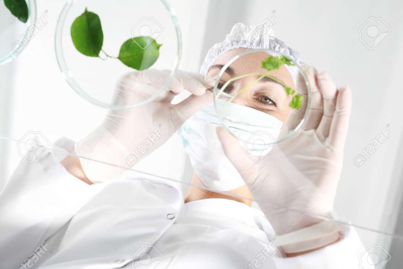In vitro plants. Biotechnologist examine the plant samples in the laboratory - 62897917