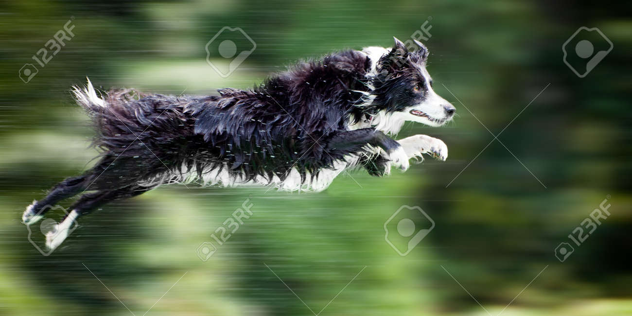 Wet border collie dog in midair after jumping off dock into water, with panning motion blur. - 10436230