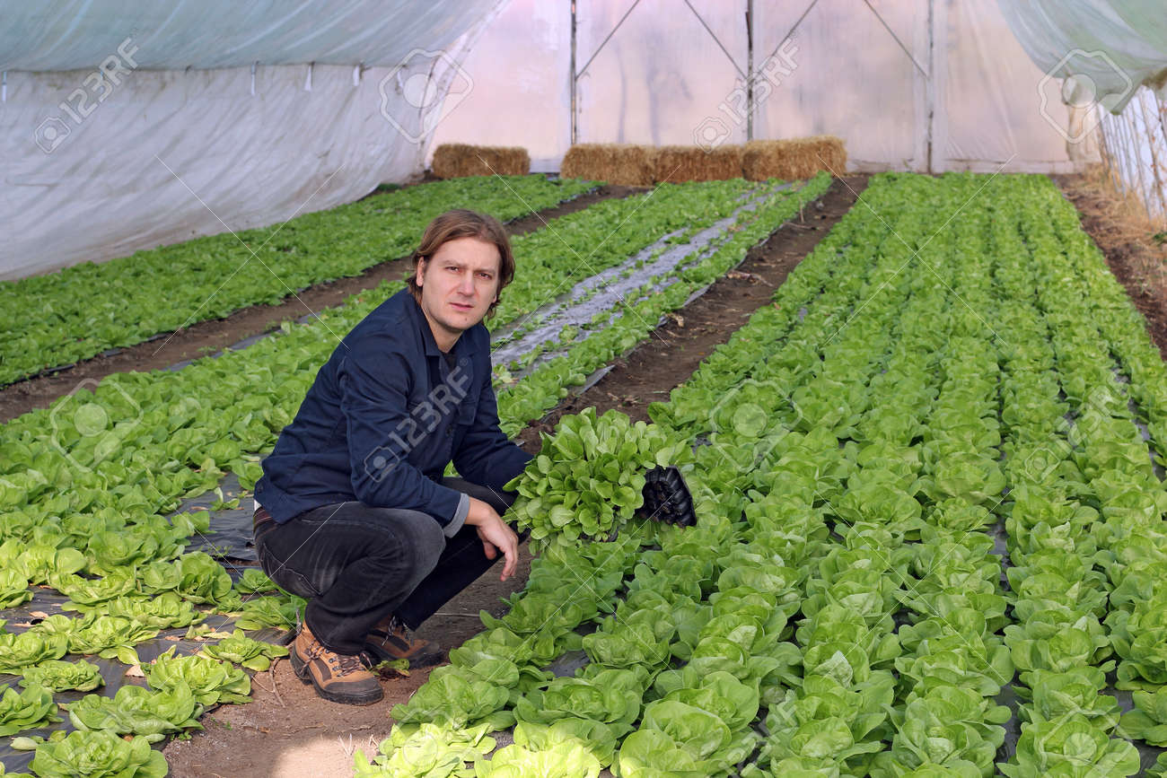 Organic farmer holding tray of seedlings in greenhouse. - 11423532