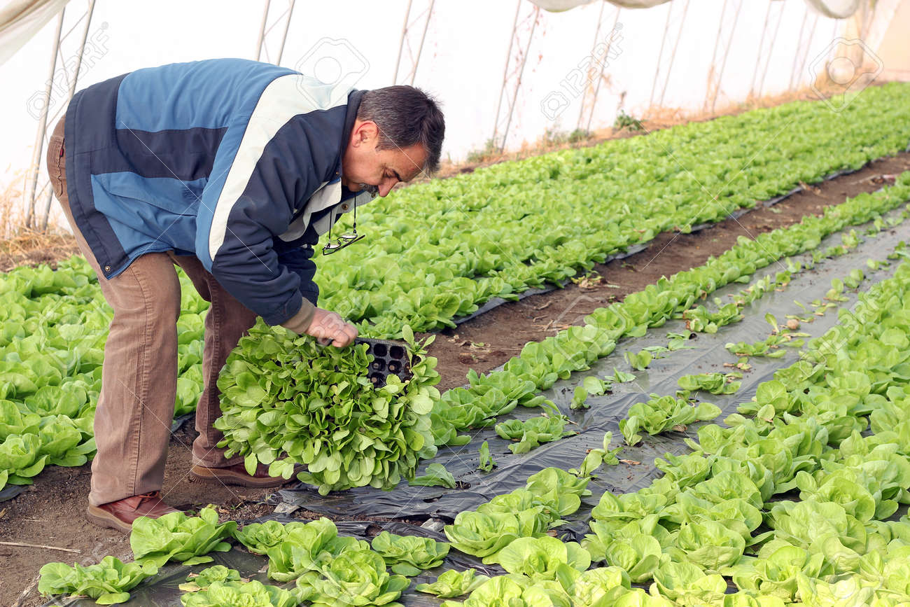 Farmer planting lettuce seedlings in greenhouse. Selective focus on the farmer - 11423535