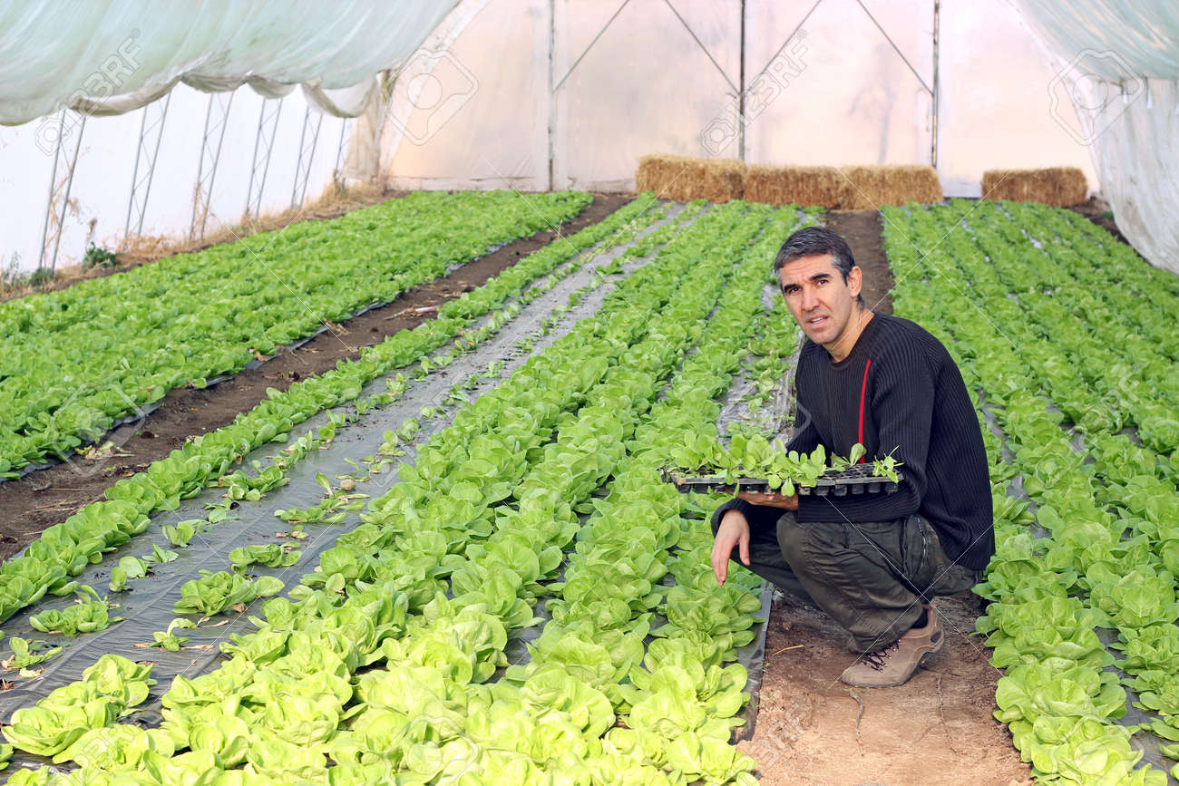 Organic farmer holding tray of seedlings in greenhouse. - 11423534